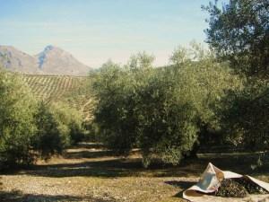 En Jaén, una cosa es la Cultura del Aceite y otra la del Olivo.