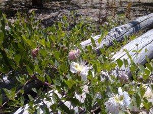 La alcaparra atrae a las crisopas, voraces depredadoras de las larvas del Prays Oleae