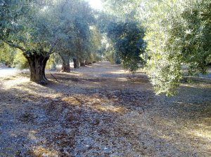 Los olivares de Jaén siguen esperando pacientemente, al igual que sus gentes, que la realidad de la provincia cambie.